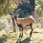 cabra-montes